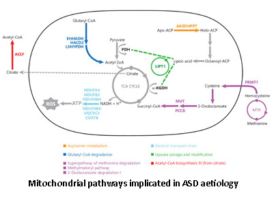 Mitochondrial pathways implicated in ASD aetiology
